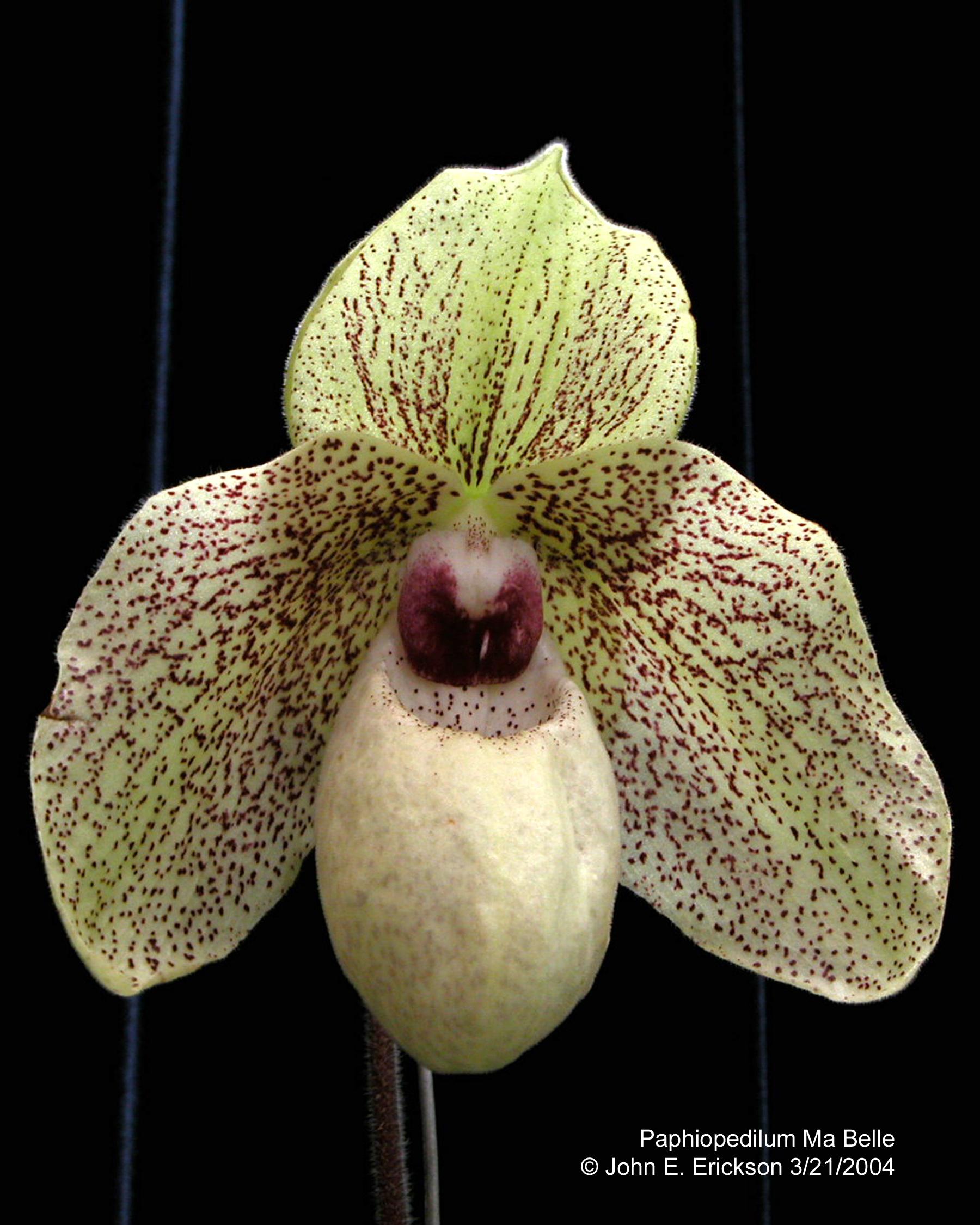 http://orchids.legolas.org/gallery/d/1249-2/Paphiopedilum_Ma_Belle.jpg